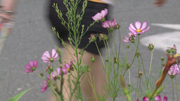 Pink potted flowers on sidewalk (1 of 2) Footage