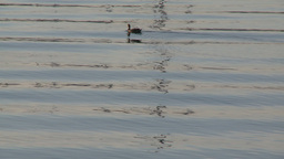 Lone duck swimming in water Footage