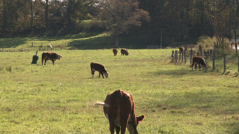 Cows out in the pasture (2 of 4) Footage