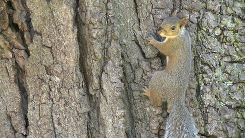 Squirrel on a tree (3 of 4) Footage