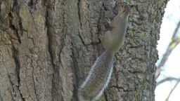 Squirrel on a tree (1 of 4) Footage