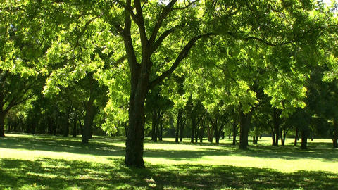Trees Drenched In Sunlight With Birds Singing Footage