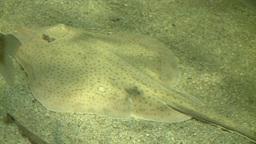 The amazing flatfish (2 of 5) Footage