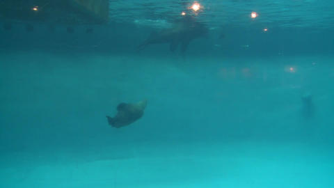 Seals swimming in an exhibit (2 of 4) Live Action
