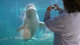 Up-close with a Beluga Whale (3 of 3) Footage