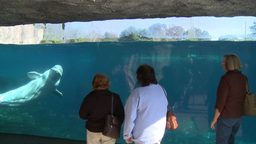 Observing a Beluga Whale (7 of 9) Footage