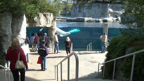 Observing a Beluga Whale (8 of 9) Footage