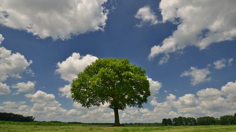tree under puffy clouds time lapse 11659 Footage
