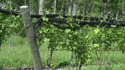 Lush vineyards (1 of 4) Footage