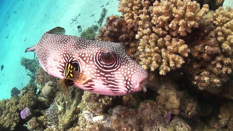 Starry Puffer on Coral Reef Footage