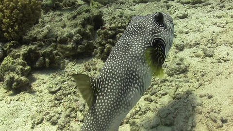 Starry Puffer on Coral Reef Live Action