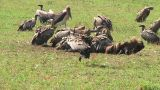 African White-Backed Vulture Footage