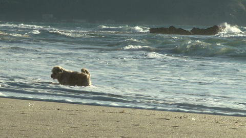 dog falls in water trying to get stick italian beach slow... Stock Video Footage