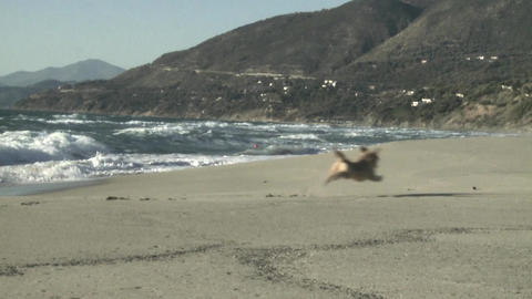 dog running to get stick slow motion on italian beach Stock Video Footage
