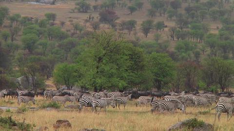 Plain zebra Stock Video Footage