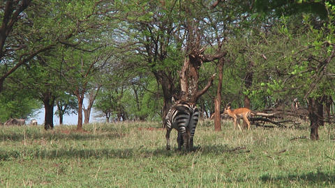 Plain zebra Stock Video Footage