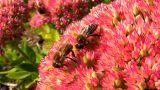 Honeybees Footage