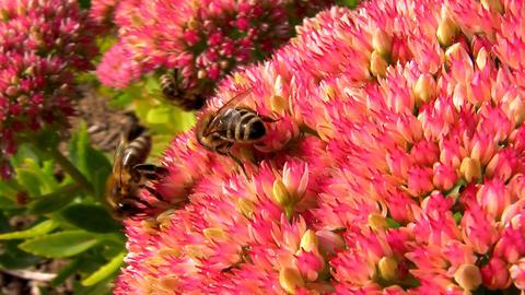 Honeybees Stock Video Footage