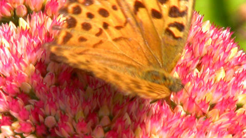 Butterfly Honey gathering Stock Video Footage