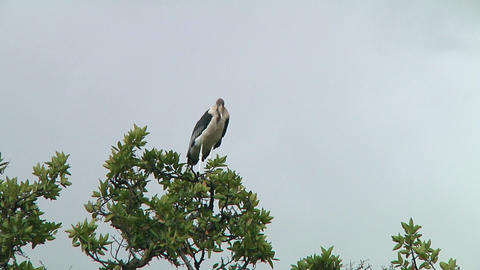 Marabou stork Stock Video Footage