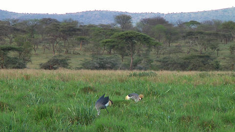 Crowned crane Stock Video Footage