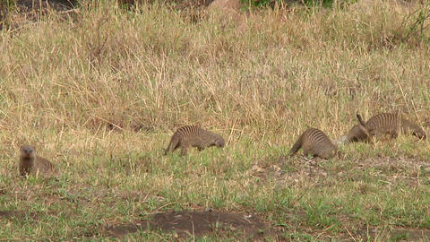 Banded mongoose Stock Video Footage
