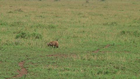 Bat-eared fox Stock Video Footage