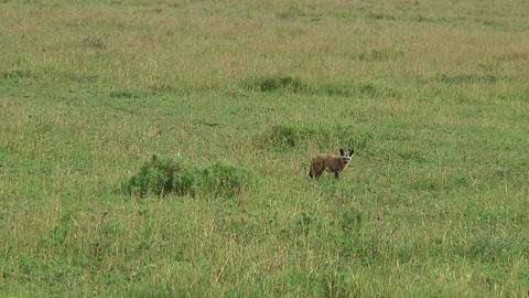 Bat-eared fox Stock Video Footage