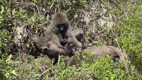 Olive baboons Stock Video Footage