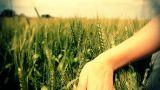 Hand running through wheat green field Freedom Landscape Footage