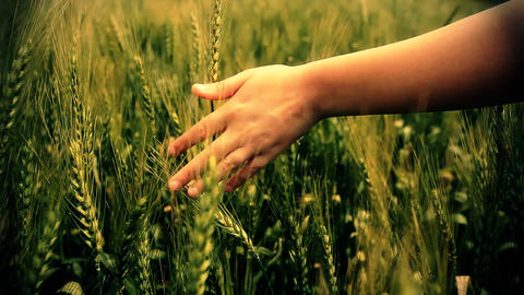 Hand running through wheat green field Freedom Landscape Stock Video Footage
