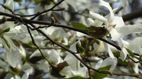 Liriodendron Tulip Tree 02 spring Footage