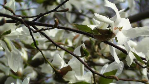 Liriodendron Tulip Tree 02 spring Stock Video Footage