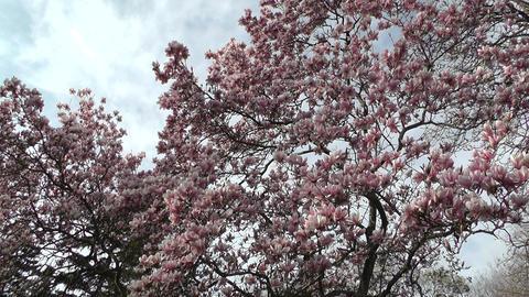 Liriodendron Tulip Tree 04 spring Stock Video Footage