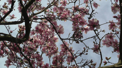 Liriodendron Tulip Tree 06 spring Stock Video Footage