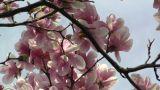 Liriodendron Tulip Tree 08 spring Footage