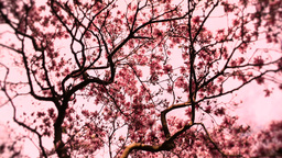 Liriodendron Tulip Tree 12 spring stylized Stock Video Footage