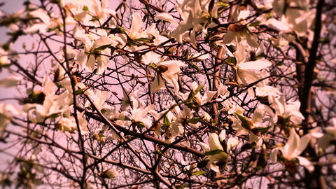 Liriodendron Tulip Tree 14 spring stylized Stock Video Footage
