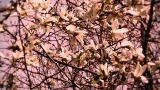 Liriodendron Tulip Tree 14 spring stylized Footage