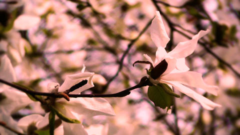 Liriodendron Tulip Tree 16 spring stylized Stock Video Footage