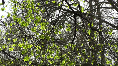Springtime Sycamore Trees 01 Stock Video Footage