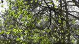 Springtime Sycamore Trees 01 Footage