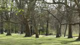 Springtime Sycamore Trees 03 park 60fps slowmotion Footage
