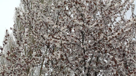 Springtime Tree in Blossoms 02 Stock Video Footage