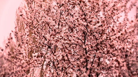 Springtime Tree in Blossoms 04 spring stylized Stock Video Footage
