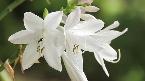 White Lily and Ant in Showa Kinen Park,Tokyo,Japan Stock Video Footage