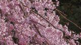 Weeping cherry tree in Yamanobe road,Nara,Japan_2 Footage