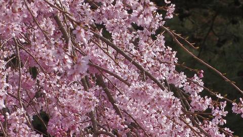 Weeping cherry tree in Yamanobe road,Nara,Japan_2 Stock Video Footage