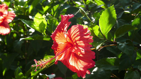 red hibiscus flower closeup Footage