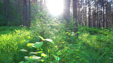 walk in the summer forest at sunset Footage